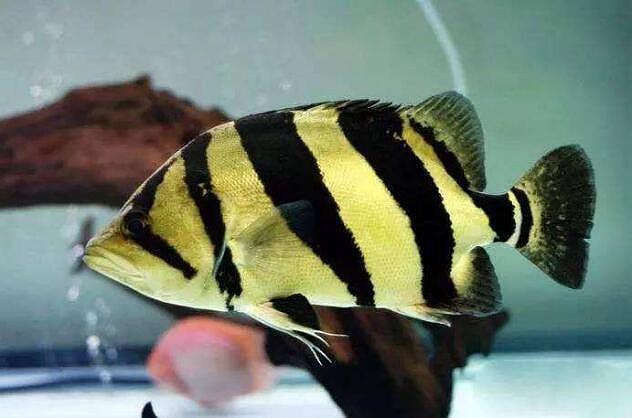 【图】虎鱼吃什么?虎鱼养殖方法