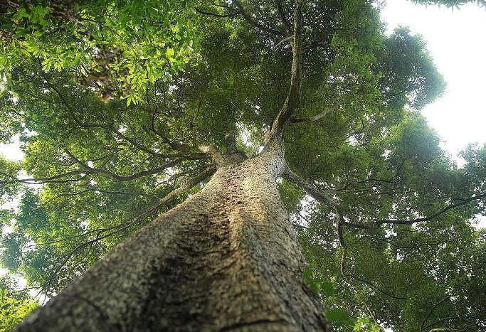 金丝楠木树苗栽培 金丝楠木树苗价格