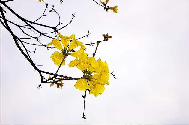 腊梅花种植技术?腊梅花花语