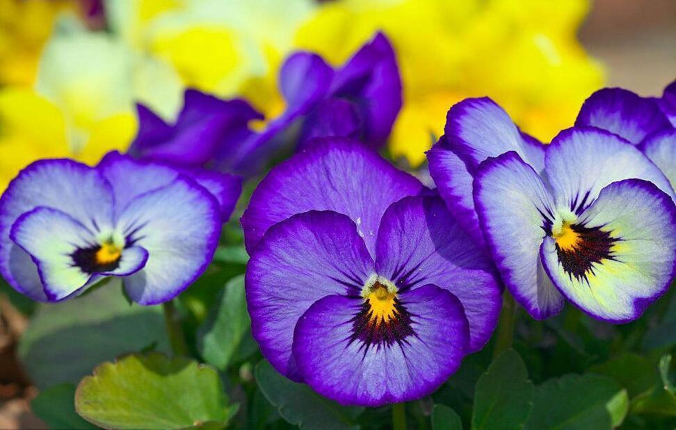 三色旋花怎么种 三色旋花的养殖方法
