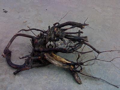 生活小常识 枣树根的功效 枣树根能做根雕吗