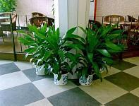 这三类大型室内植物放在办公室可以旺人气