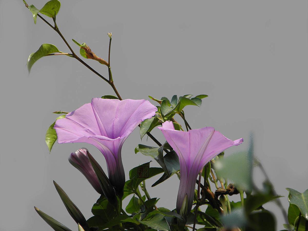 五爪金龙养殖方法介绍
