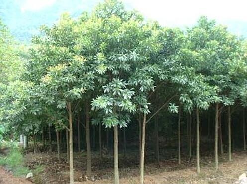 杜英种植技术 杜英品种