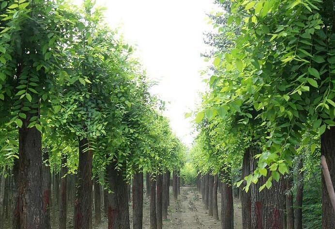 洋槐树与槐树的区别?洋槐树药用价值