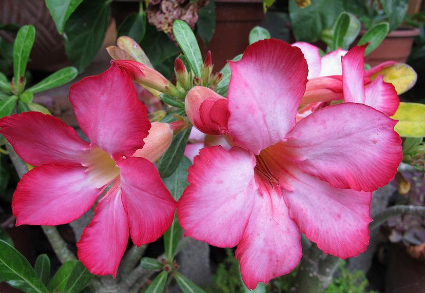 沙漠玫瑰花语介绍 沙漠玫瑰花语代表什么
