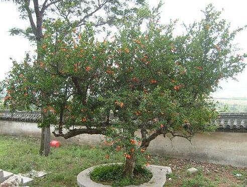 石榴树怎么剪枝?石榴树几年结果
