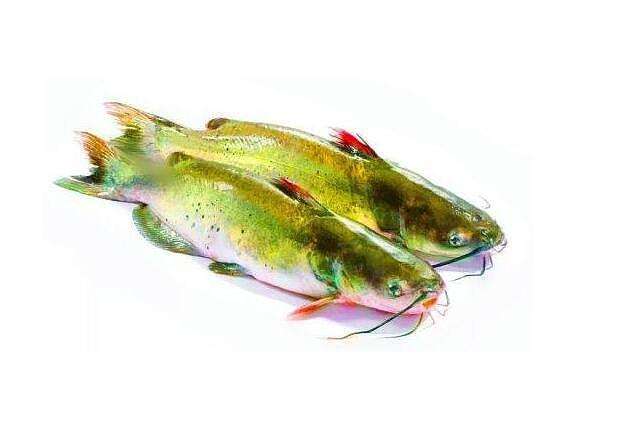 清江鱼是什么鱼?清江鱼和鲶鱼的区别?