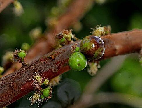 嘉宝果种植技术 嘉宝果图片