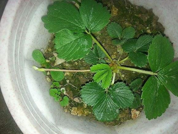 匍匐茎繁殖 匍匐茎和缠绕茎的区别