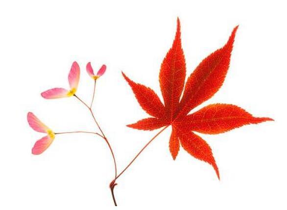 红枫种子种植方法 红枫种子繁殖技术