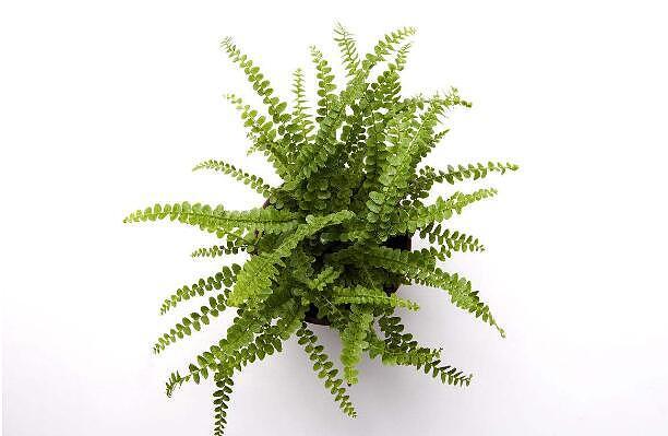 绿叶植物图片及名称 绿叶植物养护