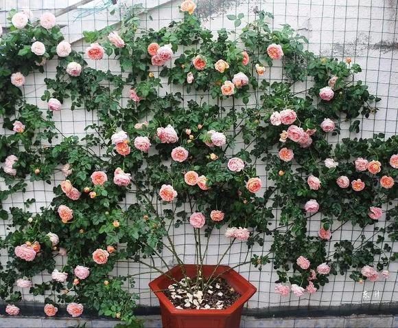 """家门口适合种什么花?养这""""5种""""花,3个月花开满墙"""