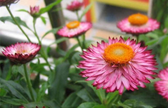 最适合秋季养的花 养在室内香喷喷效果不输高级香水