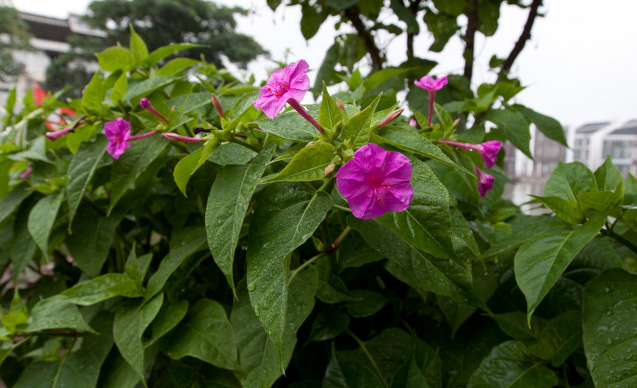 紫茉莉种子粉_紫茉莉怎么养 紫茉莉价格介绍 - 装修保障网