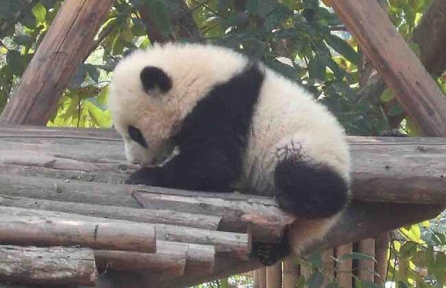 大熊猫为什么是国宝_为什么大熊猫是国宝-大熊猫为什么是国家国宝
