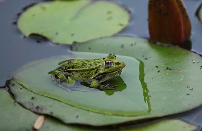 青蛙和田鸡的区别