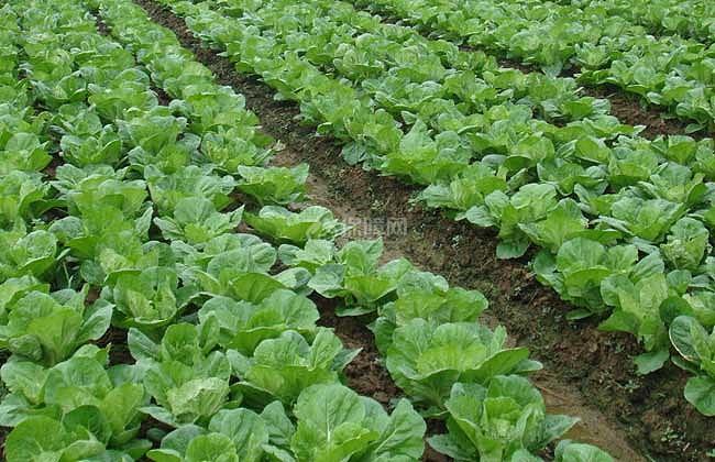 【图】大白菜种植技术图片