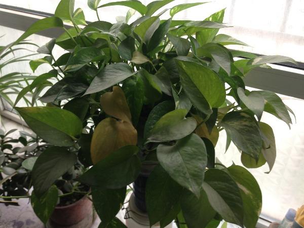 绿萝叶子发黄是什么原因 绿萝叶子发黄解决办法图片