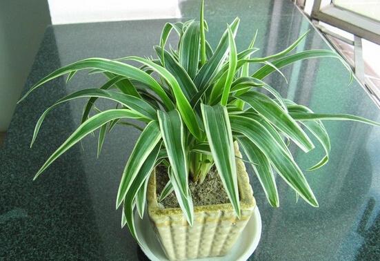 吸收甲醛的室内植物_吸收甲醛的植物排名 - 装修保障网