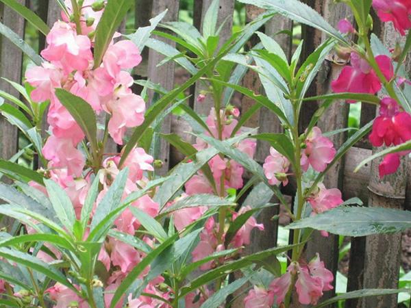 凤仙花种子_凤仙花种子怎么种 凤仙花作用有哪些
