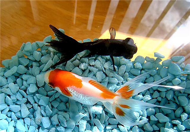 哪种观赏鱼养